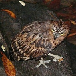 Buffy Fish Owl catches a crab