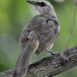 An odd looking sub-adult Yellow-vented Bulbul