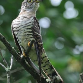 The vocalisation of the Indian Cuckoo