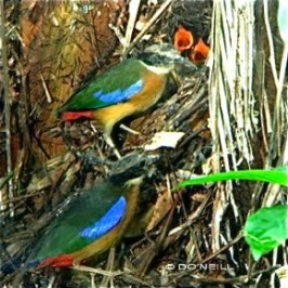 Mangrove Pitta breeding: 4. Food for hatchings