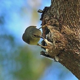 Brown-throated Sunbird seeking out micro-moth pupae