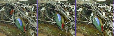 Mangrove Pitta breeding: 5. Faecal sac