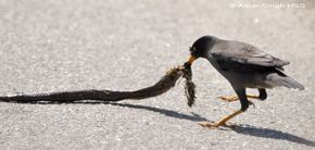 Jungle myna feeding on maggots from a dead snake