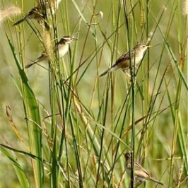 A family of Zitting Cisticola