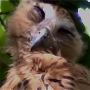 Eye movements of the Buffy Fish Owl