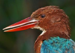 White-throated Kingfisher's eyelid