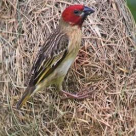 Red-headed Quelea dismantling Baya Weaver nest