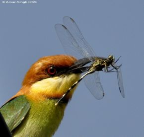 Nesting of the Chestnut-headed Bee-eater