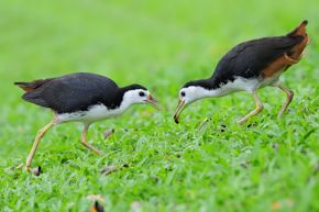 Feeding behaviour of a pair of White-breasted Waterhen