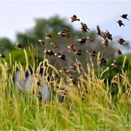 Flocks of White-headed Munia
