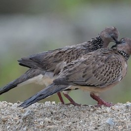 Courtship and mating of the Spotted Dove