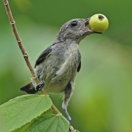 Scarlet-backed Flowerpecker and Indian cherry berries