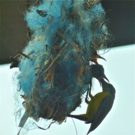 Olive-backed Sunbird's blue nest