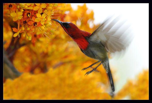 Hovering Crimson Sunbird