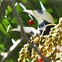 Hornbill eating, preening, regurgitating and losing balance