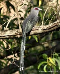 Distinguishing the Green-billed Malkoha in the field