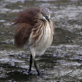 Chinese Pond Heron in a feather-raising posture