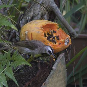 Do birds swallow papaya seeds?