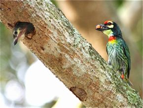 Coppersmith Barbet: Fledging of a chick