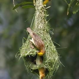 Baya Weaver completing nest