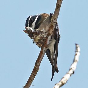 Whiskered Treeswift nesting