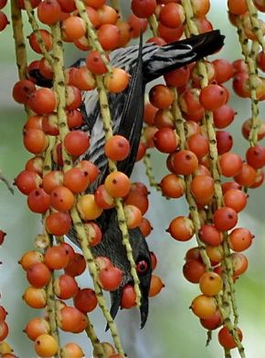Asian Glossy Starling feasts on fruits of MacArthur palm