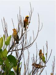 Baya Weavers teaching fledglings to fly