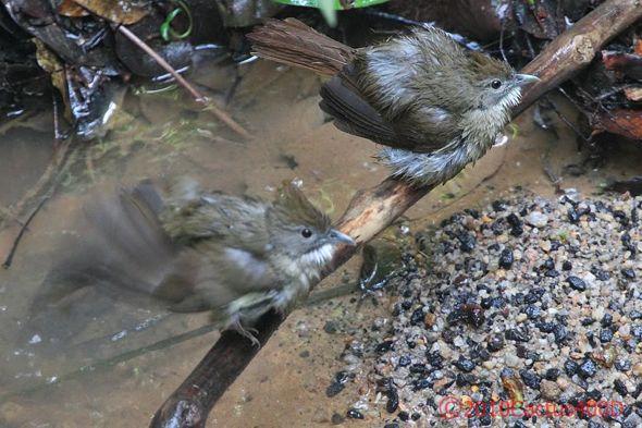 Ochraceous Bulbul bathing