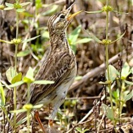 A less common feeding behaviour of the Paddyfield Pipit