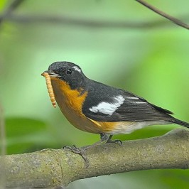 Mugimaki Flycatcher catches an insect larva
