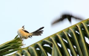 Mobbing of a Long-Tailed Shrike