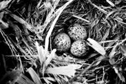 Paddyfield Pipit's failed nesting