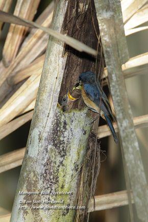 Mangrove Blue Flycatcher feeding nestling