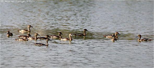 A flock of Lesser Whistling-ducks