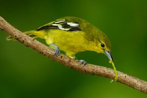 Leaves, caterpillars and yellowness in birds