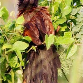 Lesser Coucal sunning
