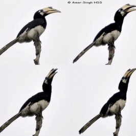 Call of the Oriental Pied Hornbill