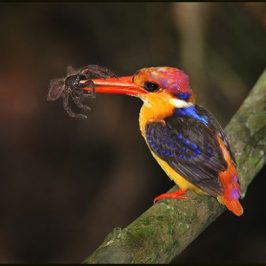 Oriental Dwarf Kingfisher and spiders