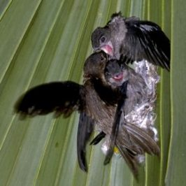 Asian Palm Swift feeding chicks