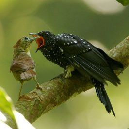 Pin-striped Tit-babbler feeding Drongo Cuckoo fledgling
