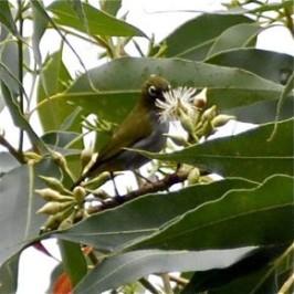 Everett's White-eye takes nectar from Eucalyptus flowers