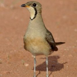 Oriental Pratincole: broken wing display and vocalisation