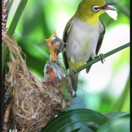 Oriental White-eye's failed nesting