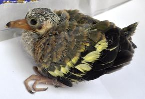 An injured juvenile Pink-necked Green Pigeon