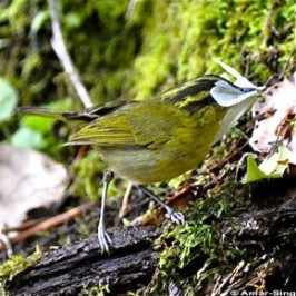 Mountain Leaf Warbler with prey for its young