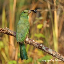 Blue-bearded Bee-eater takes a carpenter bee