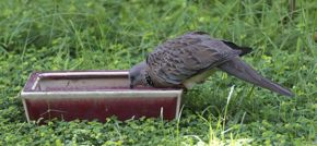 Feeding Spotted Dove: 2. Feeding behaviour