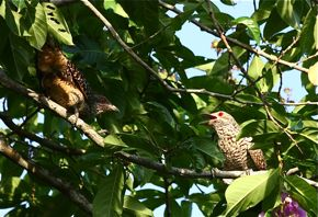 Asian Koel in courtship mode?