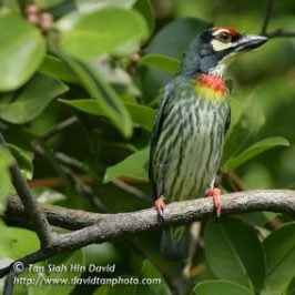 Two subspecies of Coppersmith Barbet
