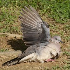 Feeding Spotted Dove: 3. Comfort behaviour